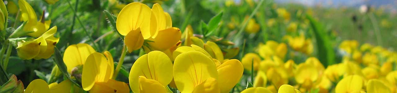 Banner Lotus corniculatus