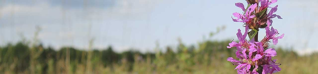 Banner Lythrum salicaria