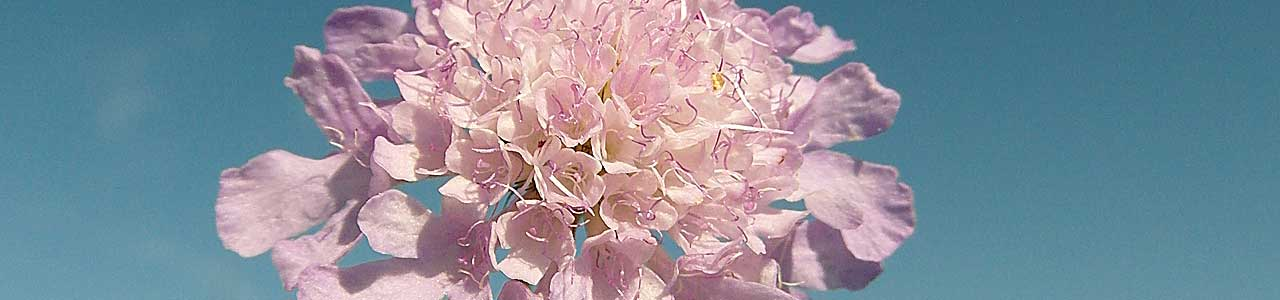 Banner Scabiosa columbaria