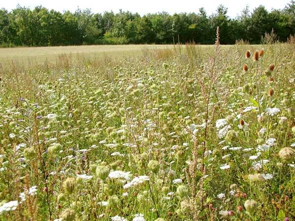 mehrjährig 1kg Saatgut Greening Honigpflanzen für Brachen